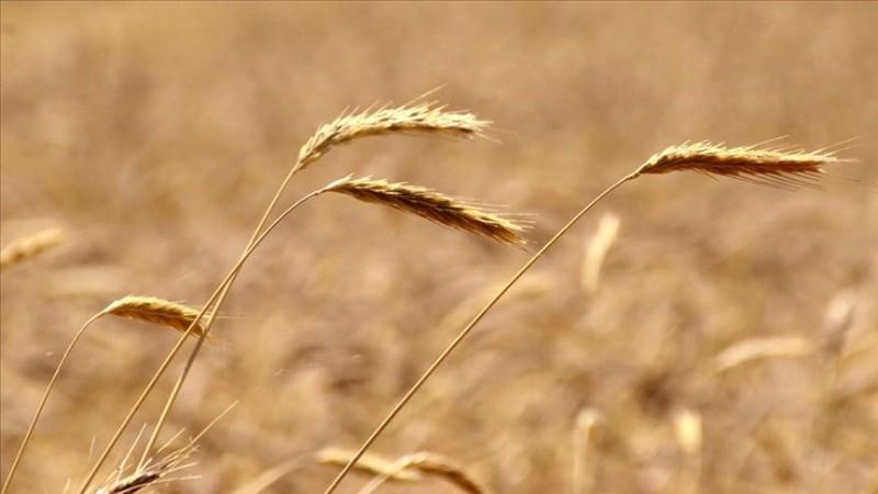 Buğdayda rekolte beklentisi 19 milyon ton